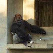 東山動植物園♪ゴリラ