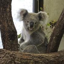 東山動植物園♪コアラ