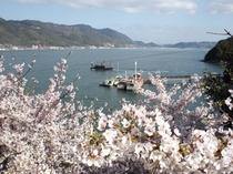 仙酔島の桜