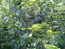 ブルーベリー果実
