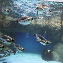 【観光情報 八景島シーパラダイス】水族館では、かわいいペンギンが泳ぐ姿を横から見ることができます♪