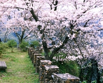 太鼓の壇 桜