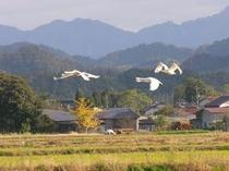 能義平野で越冬するコハクチョウ