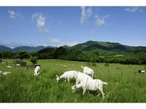 【十勝千年の森】山羊の放牧場