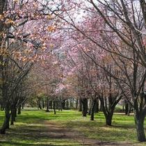 池田町:清見ヶ丘公園の桜