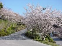 歴史民俗資料館 桜並木