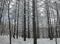 雪の唐松林