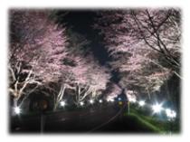 夜桜※ライトアップは期間限定