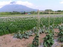 ブルック野菜畑