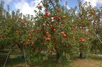 リンゴの木 1