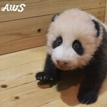 赤ちゃんパンダの名前は「結浜(ゆいひん)」に決定しました!