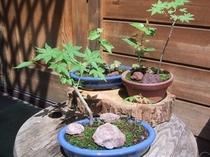 シラカバ・モミジの寄席植の盆栽