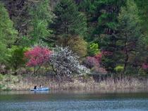 ミツバツツジ満開の蓼科湖の風景