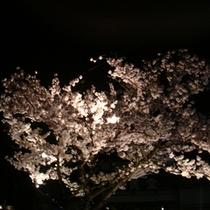 敷地内の夜桜