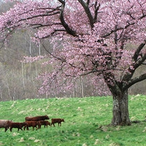 山根一本桜