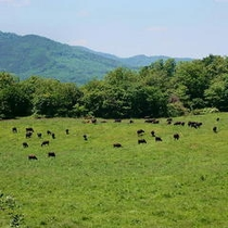 のんびりと草を食む短角和牛(白樺平牧場)