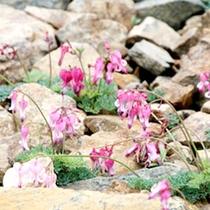 白馬五竜高山植物園◆コマクサ