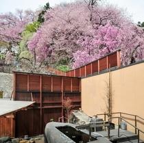 【東湯】桜を眺める露天風呂