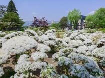【長井市・観光情報】白つつじ公園(車で30分程)約三千株のつつじが咲きまるで雪が降り積もったよう♪