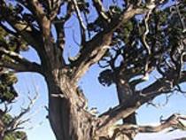大瀬岬に群生する樹齢千年を超える国の天然記念物「ビャクシン樹林」