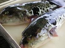 """""""虎河豚""""(トラフグ)- 毎年10月より漁が解禁される"""