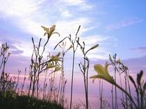 夏の風物詩のひとつ「夕すげ」