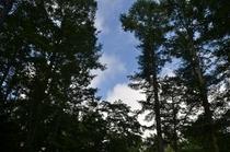 カラマツ林から覗く夏空