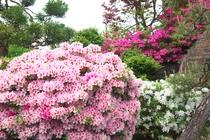 当館お庭には、珍しい薄ピンクのツツジが咲いていますので、是非ご覧下さい