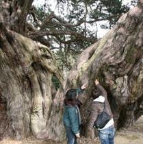 宝生院 真柏の木