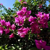 ◇ピンク色の花「ブーゲンビリア」