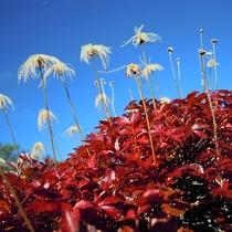 【周辺】真っ赤な草紅葉のチングルマ