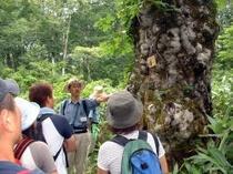 ブナ原生林ガイド