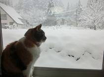 雪を見ているアッサム猫のミナ