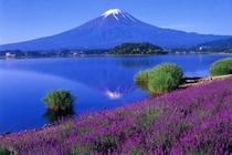 初夏ラベンダーと富士山