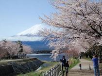 河口湖畔遊歩道沿いの桜並木