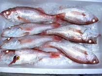 日本海産高級魚のどぐろ
