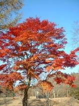 1本木もみじの紅葉
