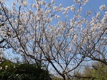 少し早先のお庭の桜