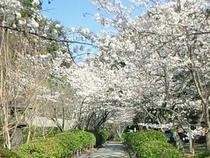 桜並木の東山界隈