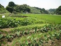 美味しい野菜が四季折々。川本屋の畑です。