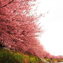 ■伊豆の春の風物詩と言えば、やっぱり河津桜!!