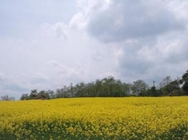 大洞原 菜の花