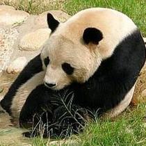 王子動物園 パンダ1