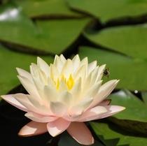 夏は睡蓮の池に満開になります