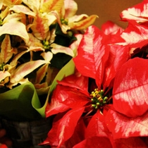 【クリスマス】ポインセチア。花言葉は「祝福する」「聖なる願い」「清純」