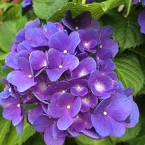 【6月】紫陽花。