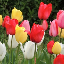 【4月】チューリップ。花言葉は「思いやり」。