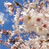 【4月】 桜。花言葉は「精神の美」「優美な女性」