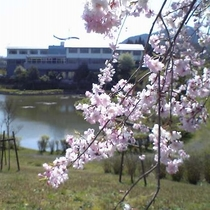 【園内の花】枝垂桜 4月