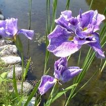 【園内の花】菖蒲 6月